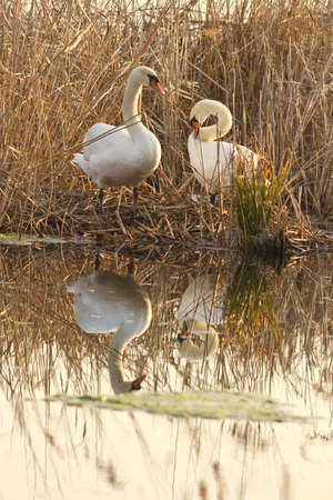 swans in the nest photo