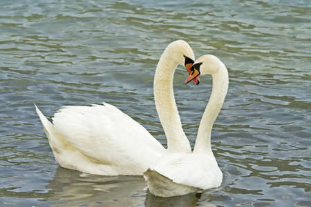 swans in love in the lake photo