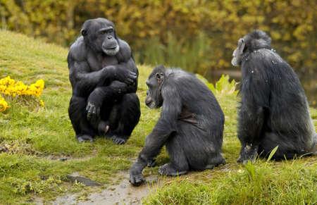 chimpansee: apen in het gras