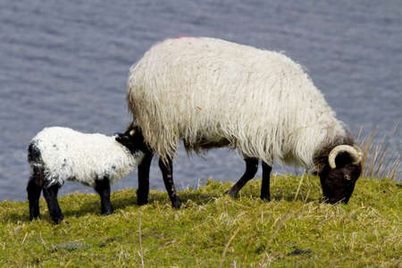 Sheep in Connemara, Ireland photo