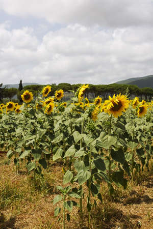 Champ de tournesols photo