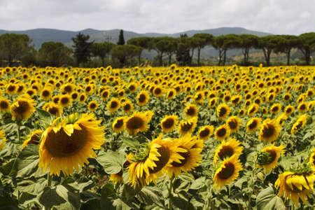 Sunflowers field photo