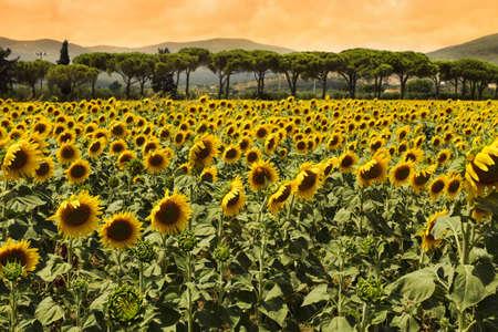 Sunflowers field at sunset photo