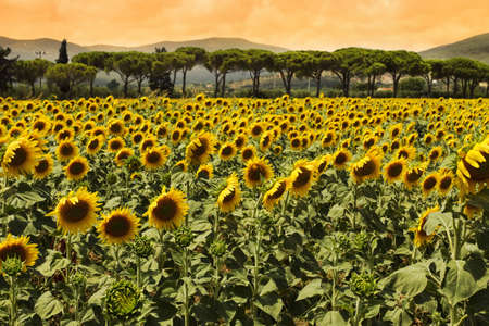 Sunflowers field at sunset photo