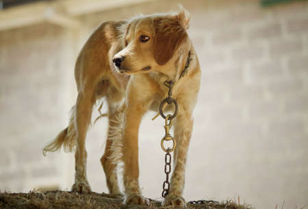 Dog in chains  photo