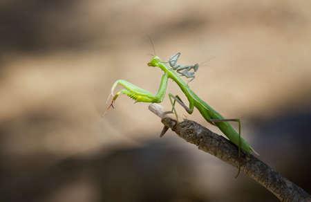predatory insect: Praying Mantis with baby mantis