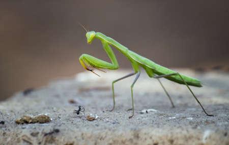 Praying Mantis with ant Stock Photo