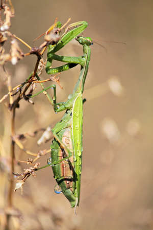 predatory insect: Praying Mantis