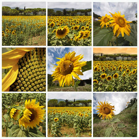 Sunflowers collage photo