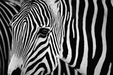 Zebra black and white Stock Photo - 14897131