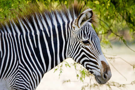 Zebra in the forest Stock Photo - 14897247