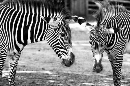 Zebra Stock Photo - 14897240