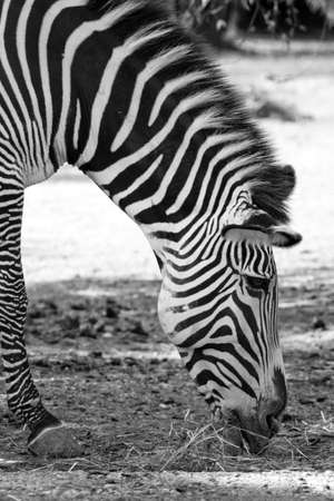 Zebra in the forest Stock Photo - 14897236