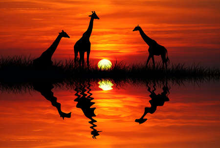 Giraffe at sunset photo