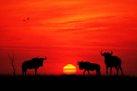 wildebeest: Wildebeest at sunset