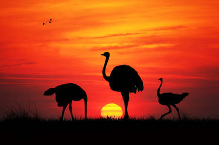 Wild ostriches at sunset photo