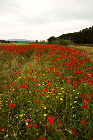 poppies field in Tuscany photo