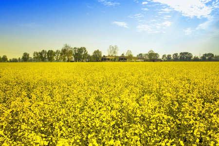 napus: fields of yellow flowers