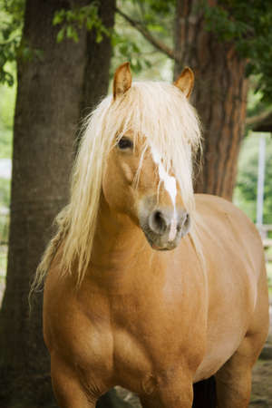 light brown horse: Brown Horse Stock Photo