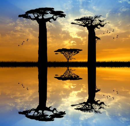 Baobab at sunset photo