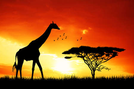 giraffe in African landscape photo