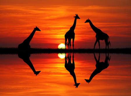 giraffe at sunset photo
