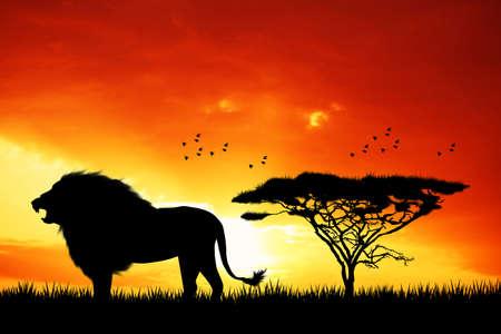 serengeti: Lion at sunset