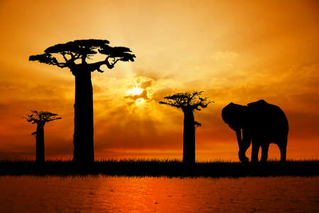 serengeti: elephant silhouette at sunset