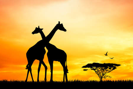 giraffes in love at sunset photo