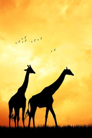 masai: Giraffe at sunset Stock Photo