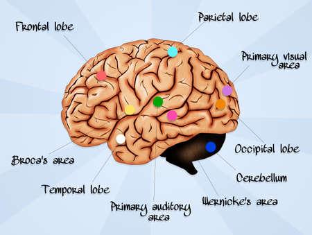l�bulo: Cerebro L�bulo Secciones Foto de archivo