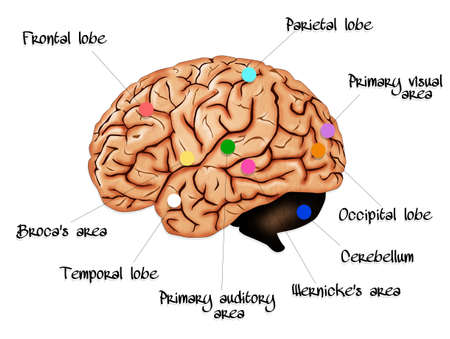 anatomy brain: Brain anatomy