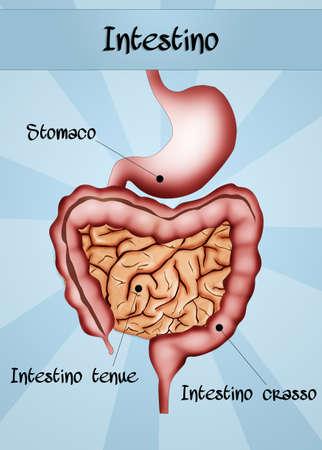 male large intestine: intestine