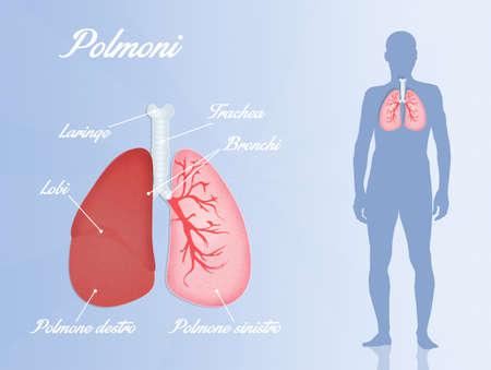 alveolos: sistema respiratorio humano Foto de archivo