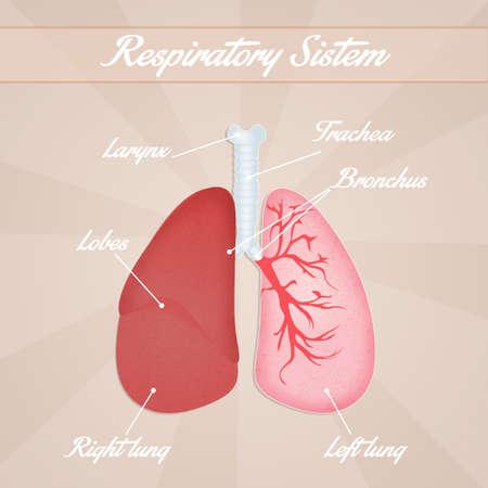 alveolos: sistema respiratorio Foto de archivo