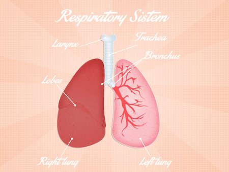 respiratory system photo