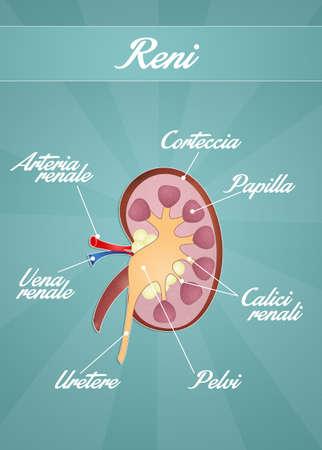 papilla: Kidneys Stock Photo