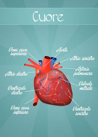 transplant: Cardiovascular system