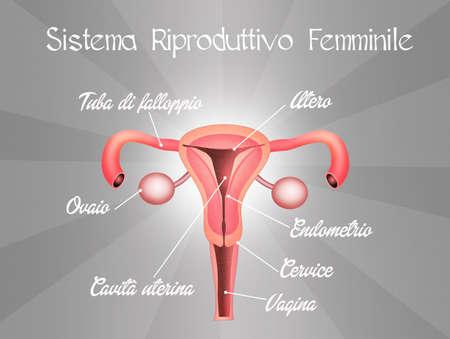 aparato reproductor: sistema reproductivo femenino