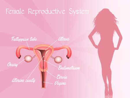 genitali: illustrazione dei genitali femminili