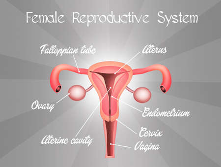 menses: female reproductive system