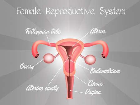 genitali: sistema riproduttivo femminile