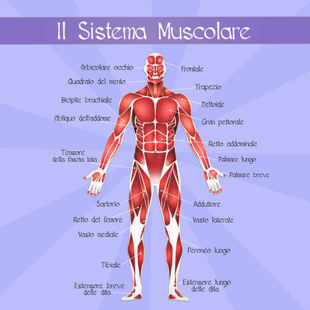 muscular system: the muscular system Stock Photo