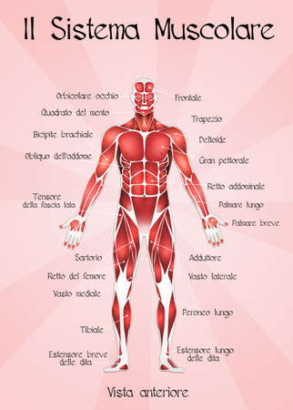 muscular system: muscular system