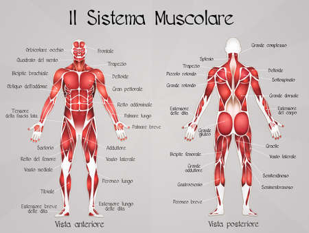 Muscular System Stock Photos Images. Royalty Free Muscular System ...