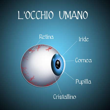 crystalline lens: the human eye