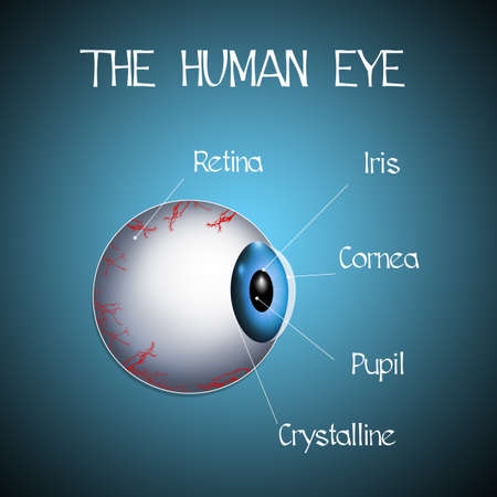 optic nerve: the human eye