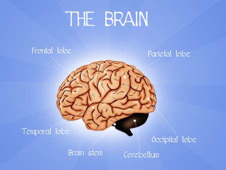 occipital: The brain