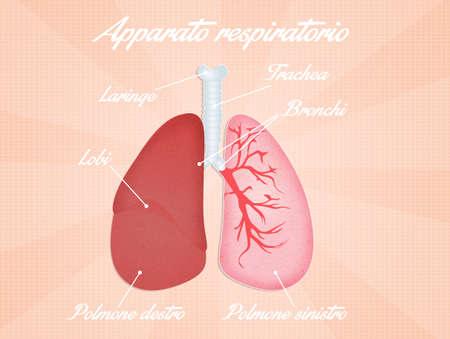 bronchi: respiratory system