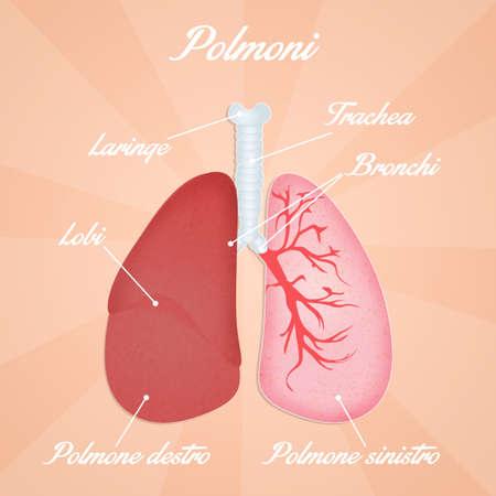 alveolos: ilustraci�n de los pulmones